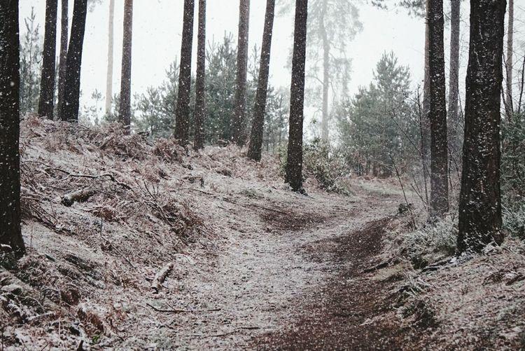 #snow #woods Tree Forest Tree Trunk Sky Landscape WoodLand Pine Tree Tranquil Scene