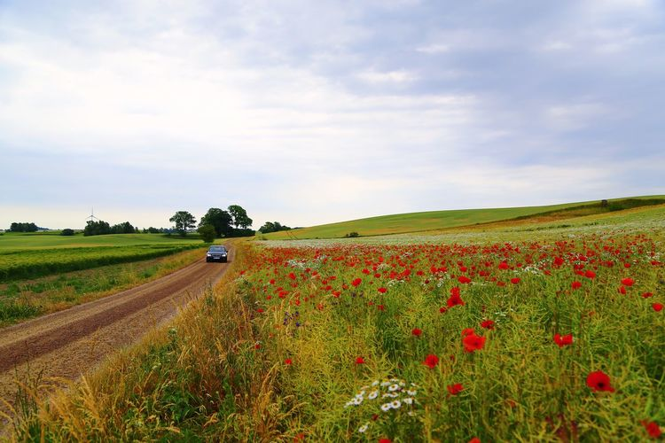 Beauty In Nature Poppy Flowers Farmland Fieldscape Countryside Dusty Road Dust Road Car Driving Driving Around Landscape Field Land Agriculture Rural Scene Plant Environment Growth Flower Farm Sky Scenics - Nature Tranquil Scene Crop  Tranquility Cloud - Sky Nature Flowering Plant Day Beauty In Nature
