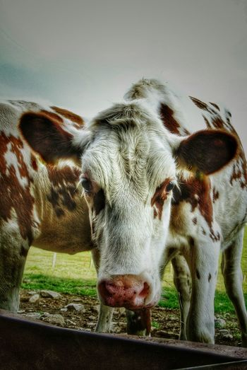 Animal Themes Domestic Animals Livestock Close-up Animal Head  One Animal No People Portrait Outdoors Nature Breinig Cattle Cow