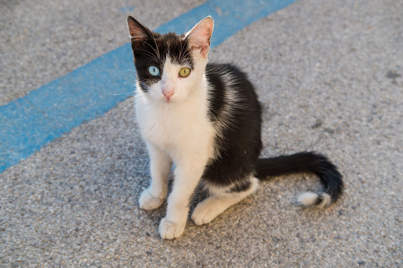 Cat in the street with different color eye looking at camera Animal Themes Different Eye Color Domestic Cat Feline Looking At Camera Mammal One Animal Outdoors Pets Portrait Street Wild
