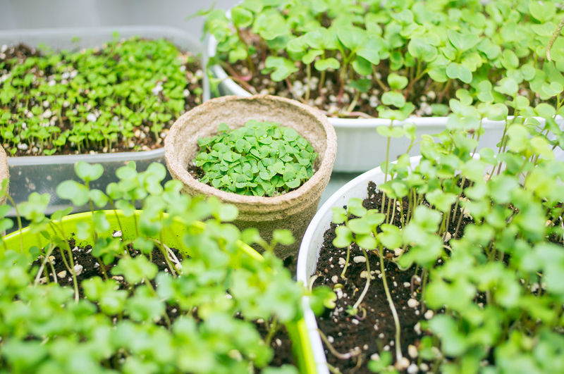 broccoli microgreen shoots in organic container Green Color Plant Growth Freshness Food Leaf Nature Plant Part Healthy Eating Potted Plant Day Herb Close-up Vitamins Minerals Energy Organic Pot Soil Micro Edible  Seedling Aromatic Vegetarian Garnish