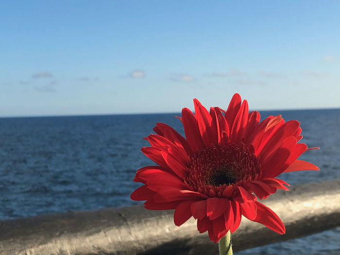 Close-up of red flower against sea