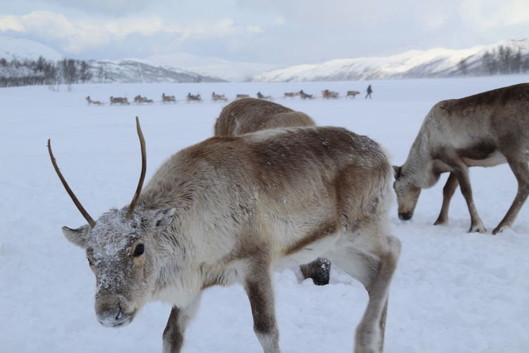 Sami reindeer experience Horns Tourism Tourist Attraction Culture Sledge Reindeer Snow Winter Cold Sami Reindeers Wildlife Wild Oslo Norway Tromsø Sled Arctic Horned Santa Claus Tundra Deer Stag Wild Boar
