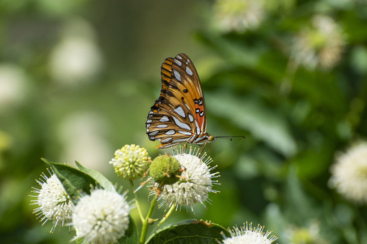 Butterfly Gulf