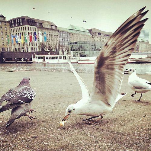 Erste!😄🐦💙 Taking Photos Hello World Followme Möwe Hamburg Norddeutschland Animals Jungfernstieg Seagull Möwenleckerbissen