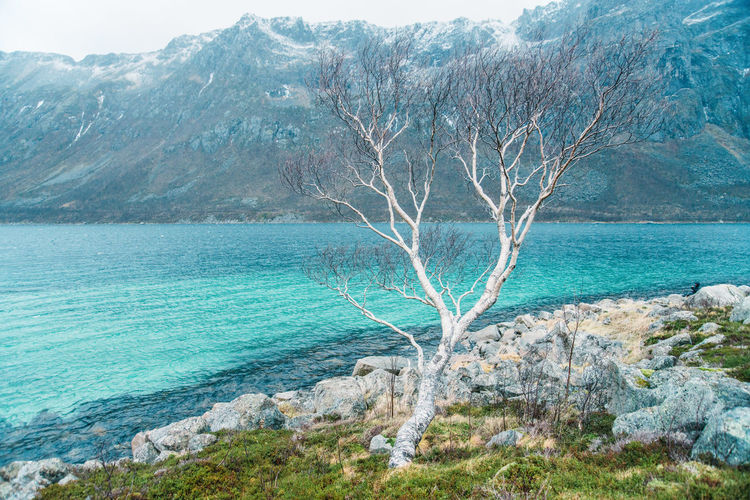 Bare Branches & Rugged Peaks Bare Tree Beauty In Nature Branches Coast Cold Fjord Landscape Mountains Nature Norway Norway Nature Ocean Rugged Shore Snow Snowcapped Mountain Tranquil Scene Tranquility Tree Turquoise Winter