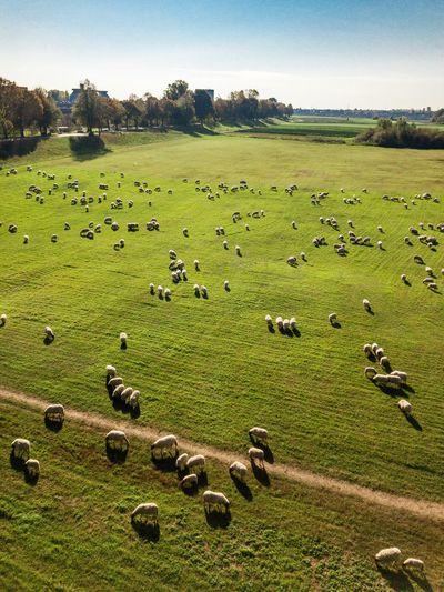 Flock of sheep grazing in a field