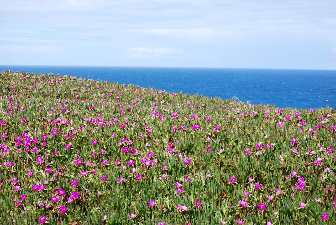 Pink Flowers Blooming On Field By Sea Against Sky