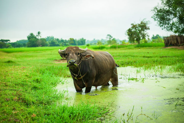 Buffalo in field countryside on water mud pond and agriculture farm meadow background Agriculture Animal Animals ASIA Asian  Background Beef Buffalo Bull Cattle Close Country Countryside Cow Cows Culture Eating Farm Farming Farmland Fauna Field Grass Graze Grazing Green Heavy Land Landscape Male Mammal Meadow Milk Mud Natural Nature Outdoor Pasture Pond Rice River Rural Strong Summer Thailand Tropical Village Water Wild Wildlife