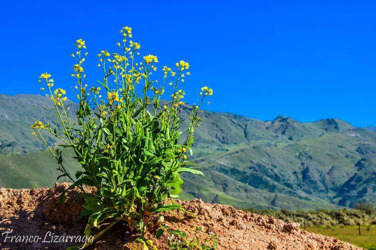 Scenic view of flowering plants against clear blue sky