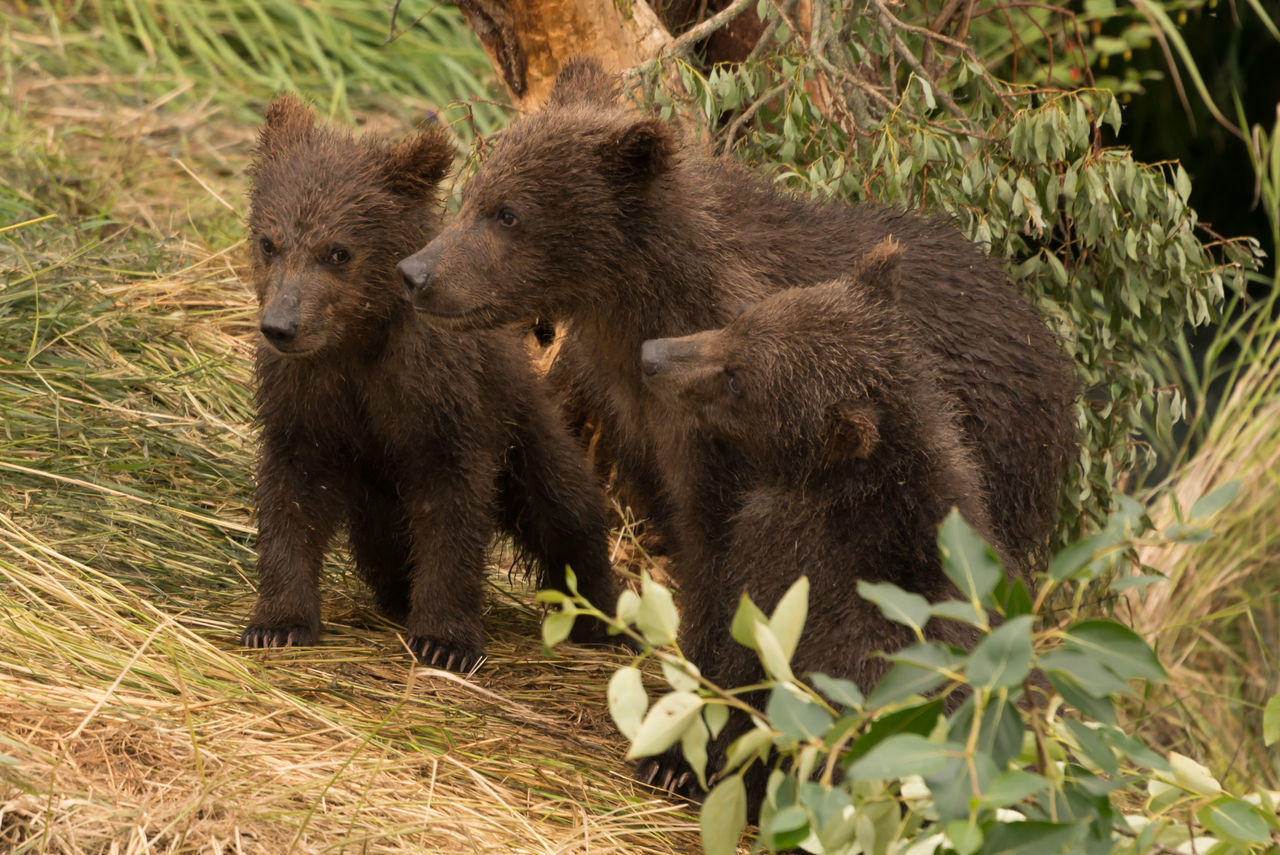 High Angle View Of Bears On Hay In Forest