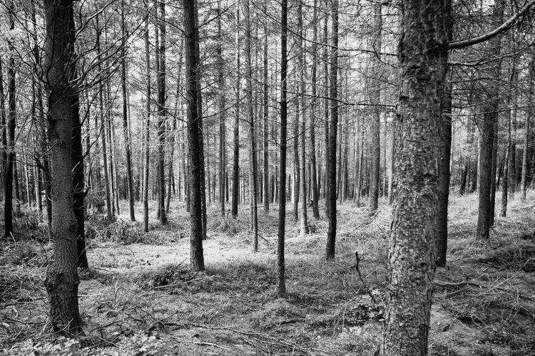 Stockhill Forest near Wells, Somerset, UK Lines WoodLand Beauty In Nature Black And White Bnw Bnwphotography Day Forest Forest Photography Forestwalk Growth Landscape Lines And Shapes Nature No People Outdoors Scenics Shadows Sky Tranquil Scene Tranquility Tree Tree Trunk WoodLand Woodland Walk