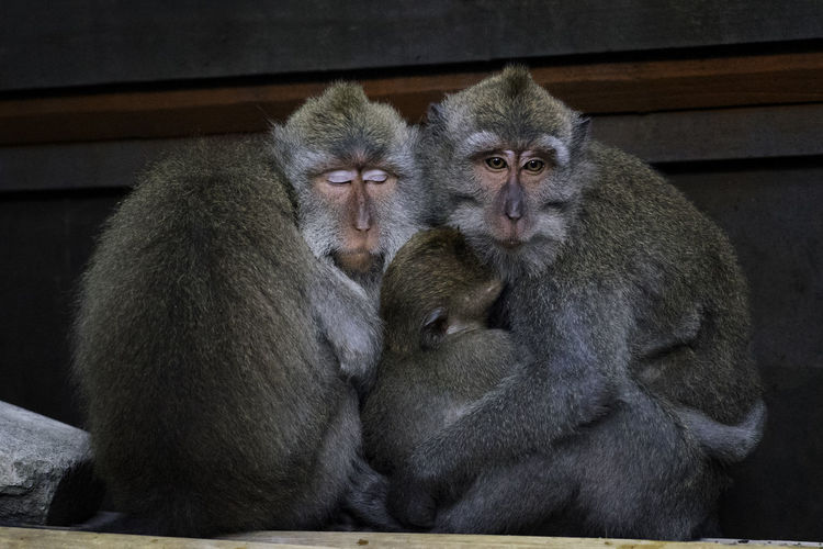 Close-up of monkey sitting on stone wall