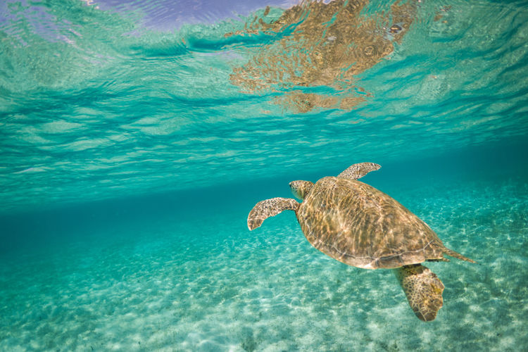Water Sea Animal Wildlife Animals In The Wild Animal Themes Animal Swimming One Animal Underwater Turtle Sea Life Marine UnderSea Reptile Sea Turtle Nature Vertebrate No People Day Outdoors Turquoise Colored