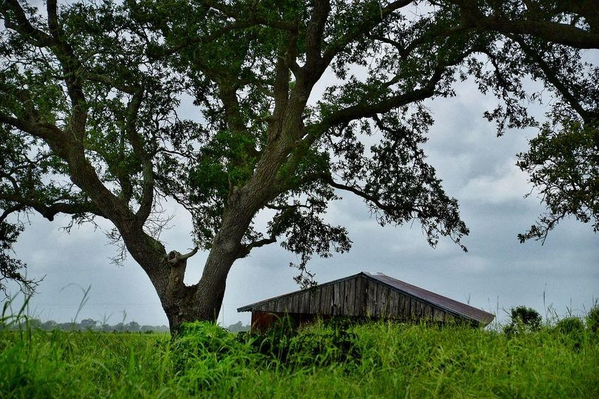 road tripping dicoveries Tree Grass Outdoors No People Day Growth Landscape Sky Nature Architecture Tin Roof Rustic Style Abandoned & Derelict Neglected Architecture Abandoned Buildings South Louisiana Farmhouse Barn Rural Scene Building Exterior Beauty In Nature Oak Tree Rusty Metal