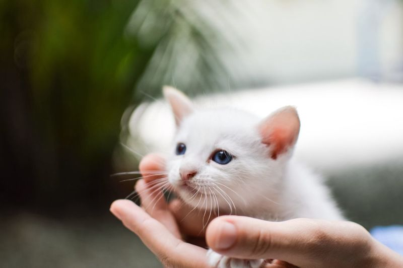 Cat with blue eye in hand