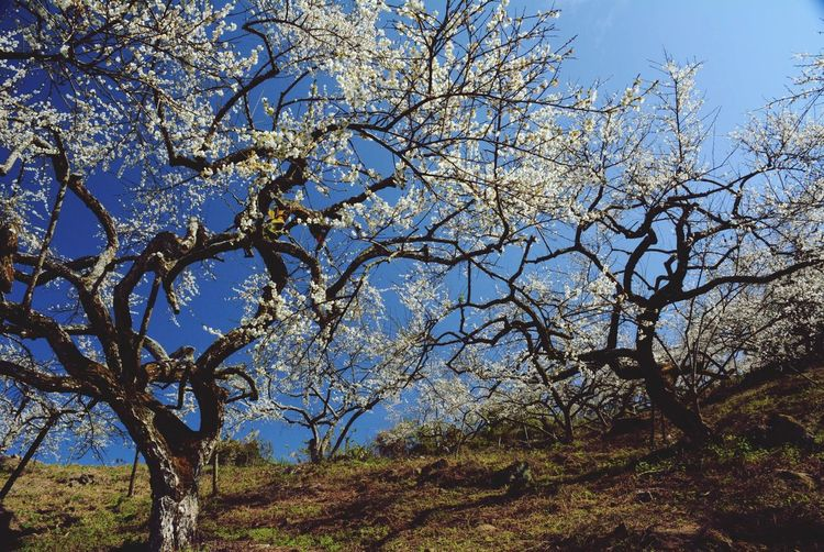 Plum Flower Trees White Flower National Flower Of China Shapes In Nature  Taiwan