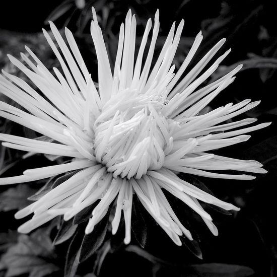 My Friday b&w post... Black And White Flower Collection Black And White Photography Black And White Collection  Black & White Monochrome Summer 2016 August 2016 Flowerporn Flowers,Plants & Garden Flowers, Nature And Beauty