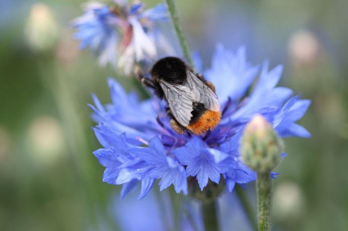🇩🇪Germany ❤️Dortmund Hummel Blaue Blüten Flor Azul Abejorro Flower Flower Head Insect Purple Close-up Animal Themes Plant