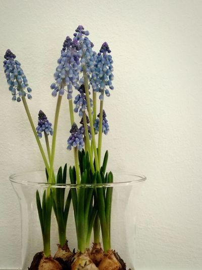 hyacinth in