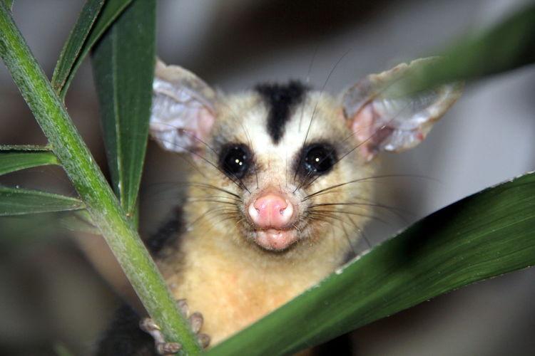 Animal Themes Animal Wild Cassaco Looking At Camera Mammal Marsupial Opossum Opossums