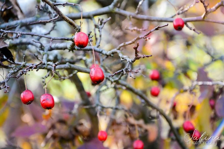 Rose Hip Nature Red Photo Photography Floral Flora Slovakia