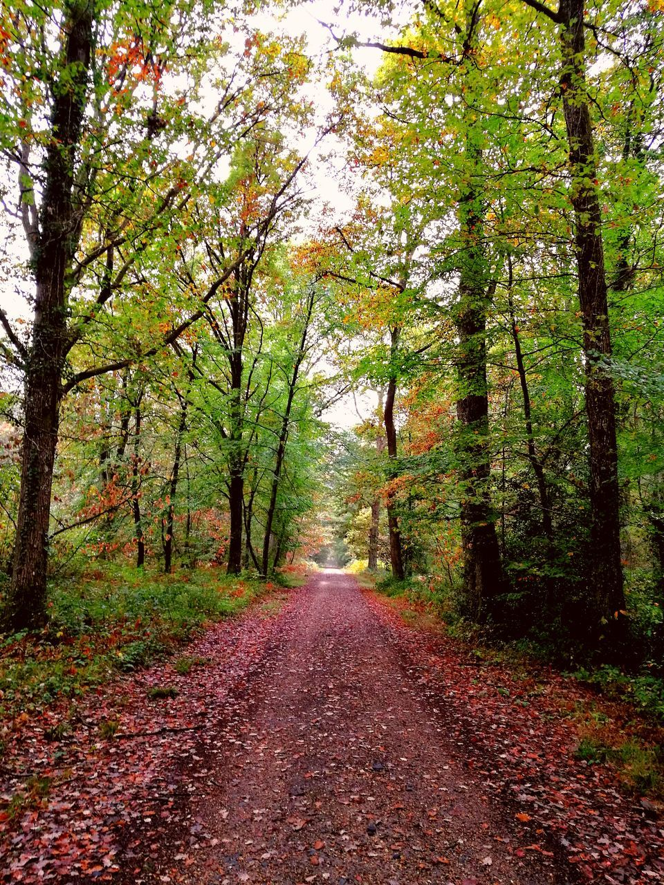 tree, autumn, the way forward, nature, tranquility, tranquil scene, beauty in nature, scenics, day, no people, change, leaf, outdoors, forest, road, branch, growth, landscape, sky