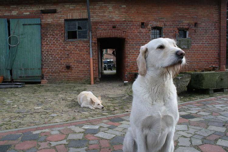 2 Zwei Animal Animal Head  Animal Themes Barn Bauernhof Dog Domestic Animals Farm Hof Hofhund Hofhunde Hund Hunde KopfSteinPflaster Looking At Camera One Animal Outdoor Pets Portrait Relaxation Relaxing Scheune Sitting