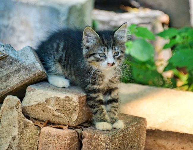 Where should I go now? Playful Kitten White Paws Farm Life Farm Kitten Animal Themes One Animal Animal Mammal Domestic Cat Pets A New Beginning Cat Domestic Domestic Animals Feline Vertebrate Rock Portrait No People Solid Looking At Camera Rock - Object Young Animal Focus On Foreground