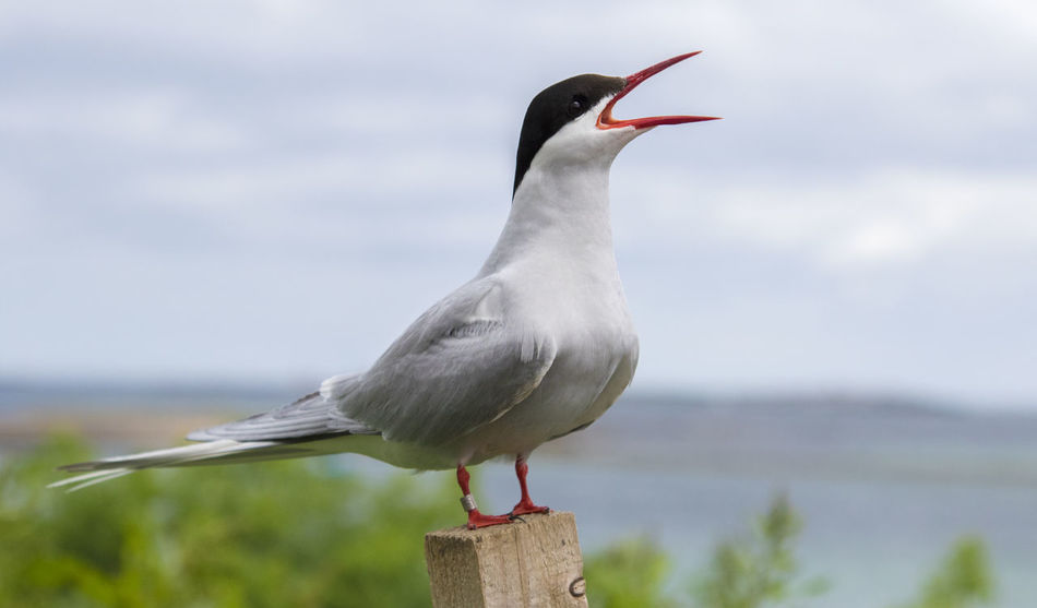 Animal Wildlife Animals In The Wild Arctic Tern Arctic Terns Beauty In Nature Bird Bird Singing British Wildlife Close-up Day Farne Islands Focus On Foreground National Trust 🇬🇧 No People One Animal Outdoors Perching Seabirds Sky Terrace