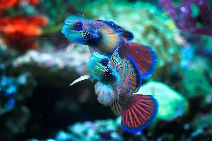 mandarin fish Underwater Eye For Photography Macro Photography Shooting Fish In A Barrel