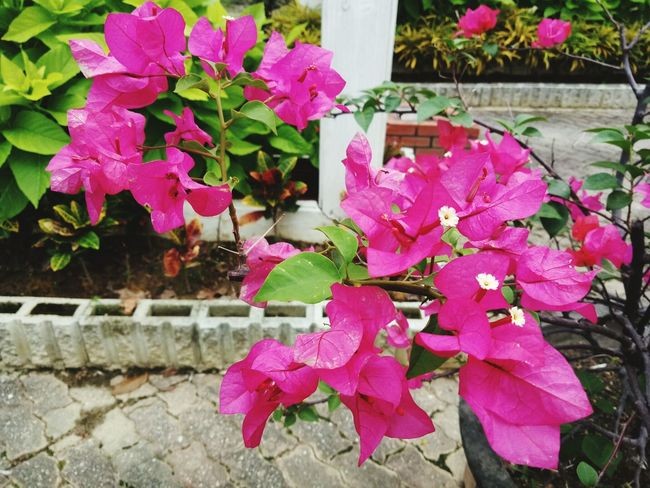 Pink Color Leaf Outdoors Nature No People Day Flower Beauty In Nature Growth Plant Autumn Bougainvillea Fragility Close-up Freshness