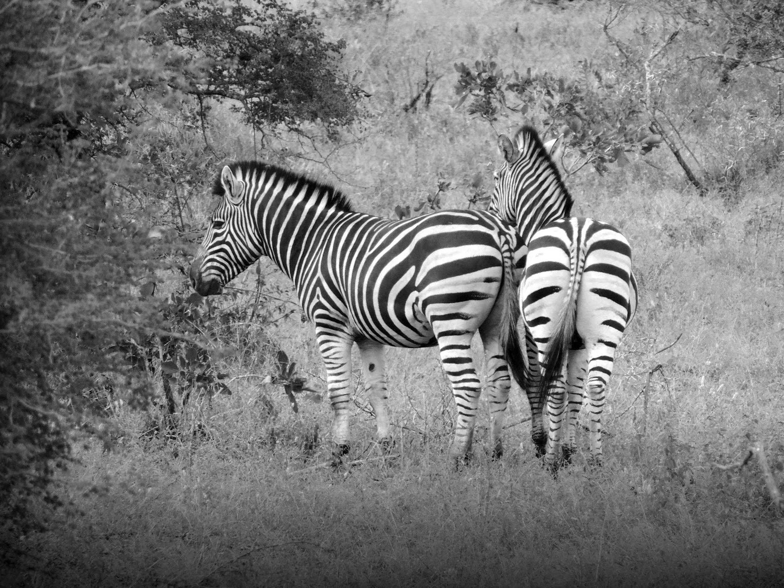 animal wildlife, animal, animal themes, zebra, mammal, animals in the wild, striped, group of animals, vertebrate, plant, field, land, no people, nature, standing, two animals, safari, grass, domestic animals, herbivorous, outdoors, animal family