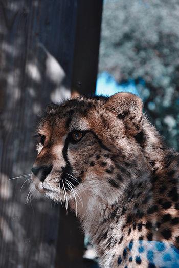 Close-up of cheetah looking away