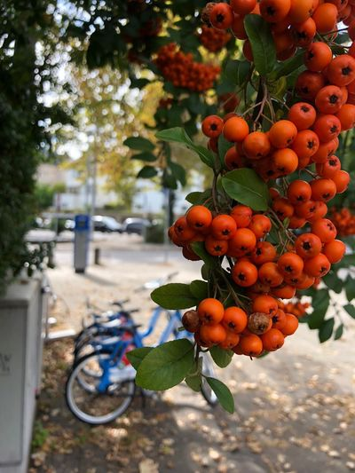 Berries in the city City Bicycle Food And Drink Healthy Eating Fruit Food Freshness Day Growth Nature Focus On Foreground Plant Tree Leaf Berry Fruit Outdoors Orange Color Plant Part No People