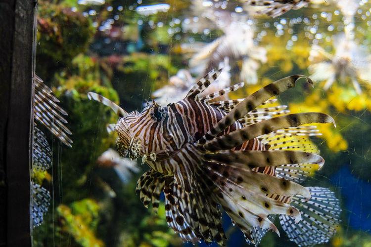Close-up of lionfish swimming in fish tank at aquarium
