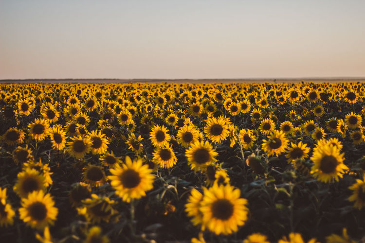 Outdoors Outdoor Tranquility Tranquil Scene Tranquil Flower Flowering Plant Yellow Beauty In Nature Landscape Sky Growth Plant Land Freshness Field Environment Nature Scenics - Nature Flower Head Fragility Vulnerability  Sunflower No People Outdoors Pollen