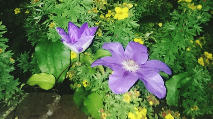 Street corner beauty Flower Growth Petal Purple Nature Fragility Plant Beauty In Nature Flower Head Freshness No People High Angle View Day Outdoors Green Color Leaf Water Blooming Close-up EyeEmNewHere The Week On EyeEm Paint The Town Yellow