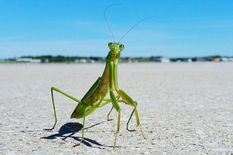 Praying mantis on field against sky