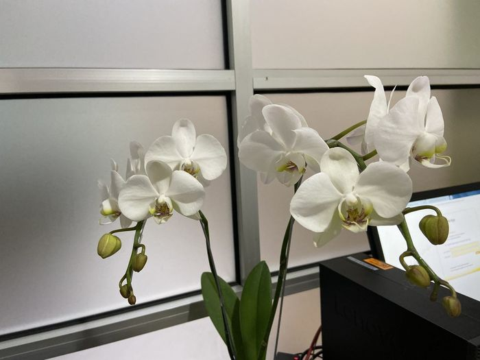 Close-up of white orchids by window at home