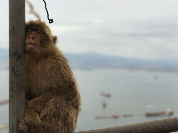 Eyeemawards18 EyeEm Best Shots Gibraltar Views Primate Monkey Animal Animal Themes Mammal Focus On Foreground Animals In The Wild Ape One Animal Outdoors Animal Wildlife