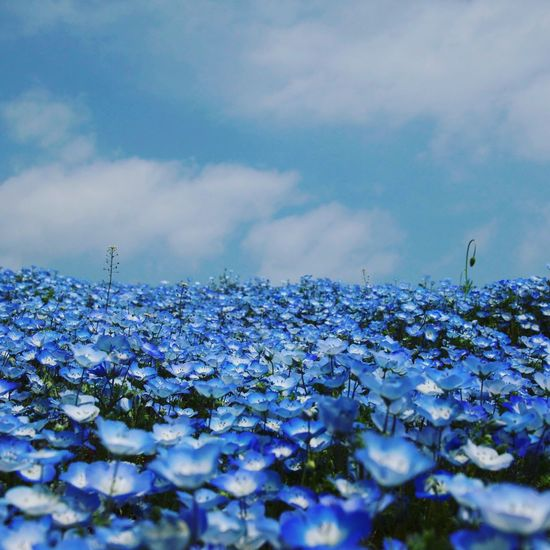 Bloomimg Nature Flower BabyBlueEyes Beauty In Nature Flowers Blue