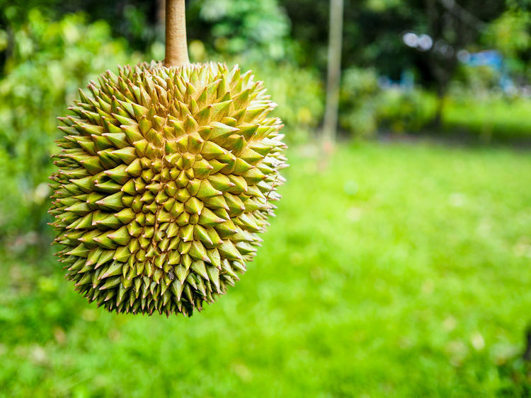 Durian fruit Nature Flower Outdoors No People Grass Growth Beauty Day Beauty In Nature Flower Head Freshness Close-up Durian Fruit Durian Tree King Of Fruit Durian Fruit Tree Freshness Leaf Green Color Nature Backgrounds Field Growth