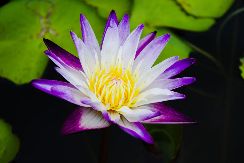 purple water lily and yellow pollen Flower Head Flower Water Lotus Water Lily Passion Flower Petal Springtime Purple Crocus Water Lily In Bloom Pollen Blooming Single Flower Plant Life Blossom Eastern Purple Coneflower