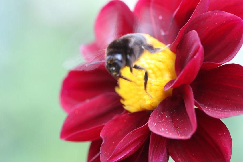 Cerrar Flor Abejorro Flor 🇩🇪Germany ❤️Dortmund Nahaufnahme Startende Hummel Flower Head Flower Red Bee Petal Insect Water Close-up Plant Bumblebee