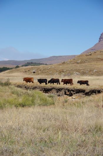 Beauty In Nature Cattle Clear Sky Day Grass Grassland Landscape Mountain Mountain Cattle Nature No People Outdoors Prarie Scenics Sky