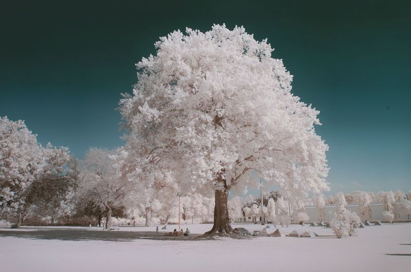 Infrared image of trees at park against sky on sunny day
