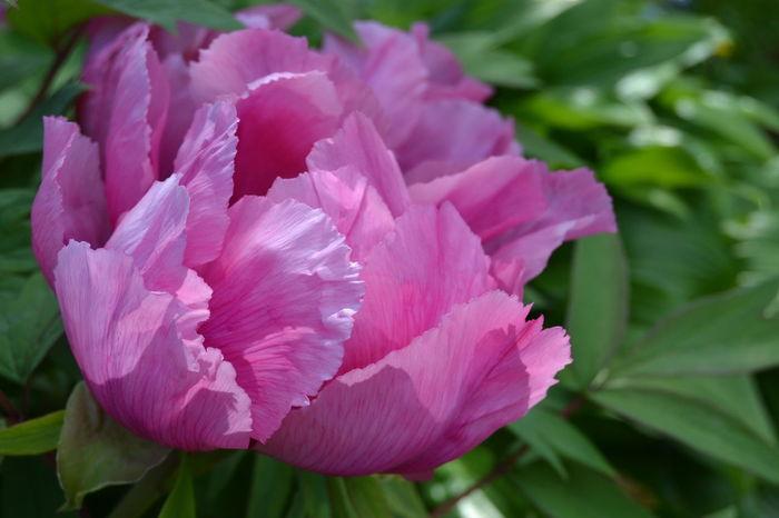 Shyness Sensuality Peonia Flower Nature Pink