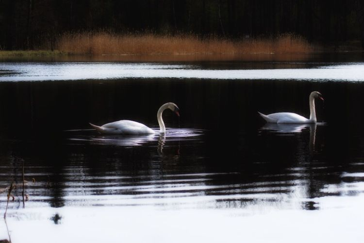 In trauter Zweisamkeit Animals In The Wild Water Lake Animal Wildlife Animal Animal Themes Bird Vertebrate Group Of Animals Swan Waterfront Reflection Swimming Nature No People Day Water Bird Two Animals Floating On Water