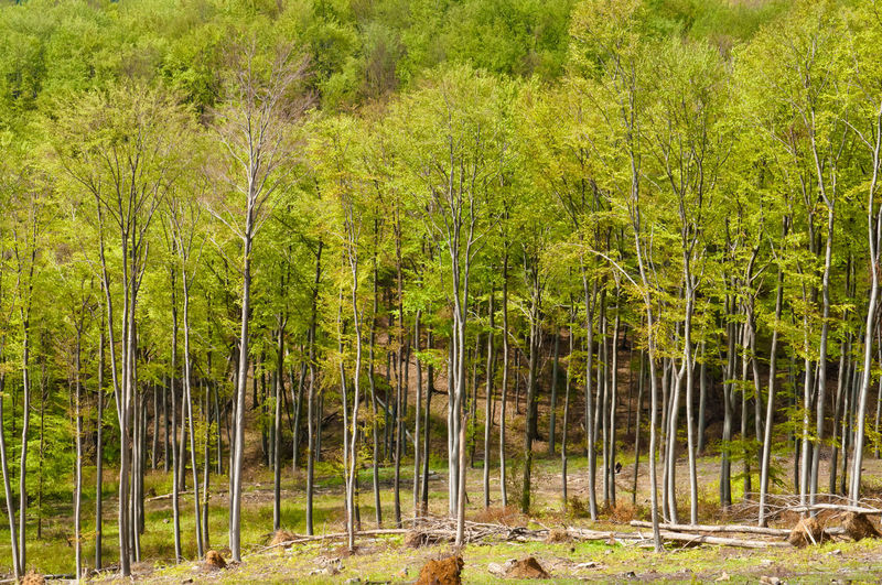 Beech forest in